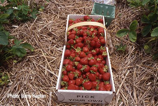 Exeter-Strawberries - Barry Kaplan