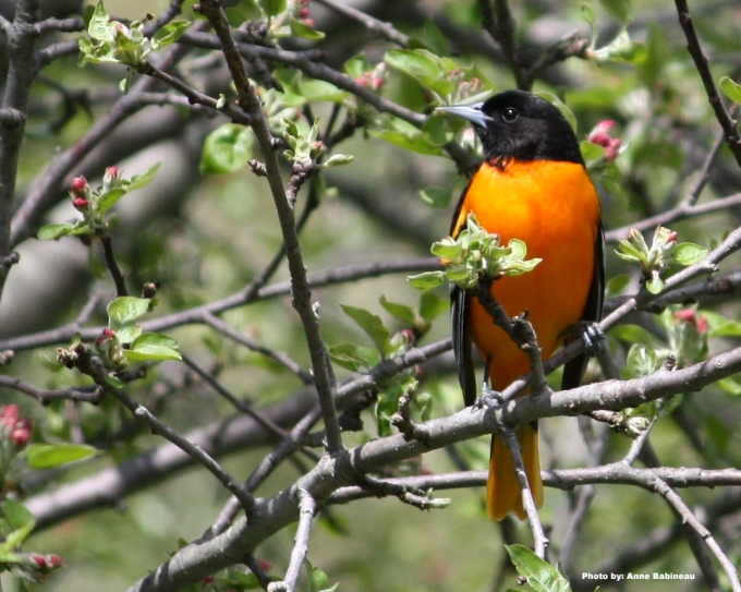 South Kingstown- Anne Babineau - o-o-oriole
