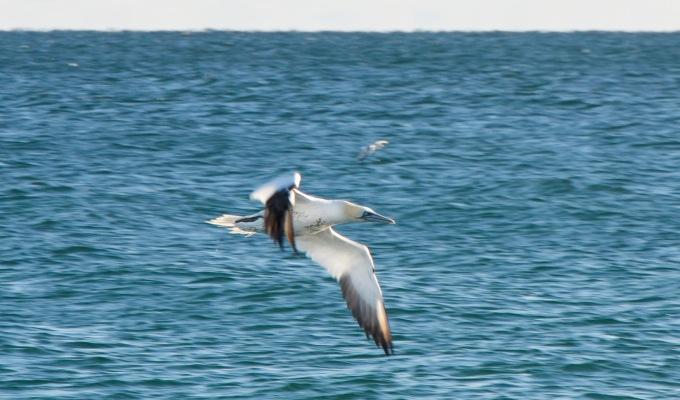 Gannets: Guest Post by MarkBullinger